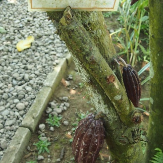 Chocolate tree!