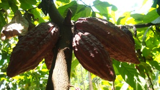 Chocolate fruit (cocoa)