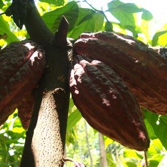 Chocolate fruit (cocoa)