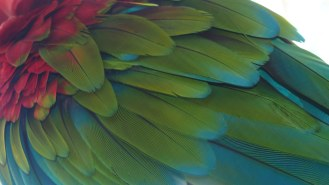 Macaw's feathers at Bali Bird Park