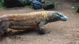 Comodo dragon - he was big!